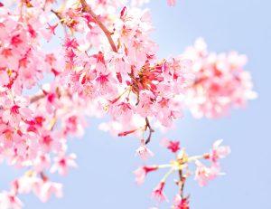 free-photo-sakura-koharubiyori